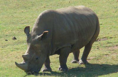 Nosorožec bílý severní – druh, kterému hrozí vyhynutí